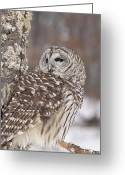 Lichen Image Greeting Cards - Barred Owl in Winter Greeting Card by Cindy Lindow