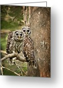 Barred Owl Greeting Cards - Barred Owl Pair Greeting Card by Bonnie Barry