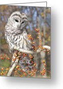 Bittersweet Photo Greeting Cards - Barred Owl Portrait Greeting Card by Cindy Lindow