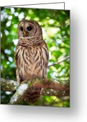 Barred Owl Greeting Cards - Barred Owl Greeting Card by Rich Leighton
