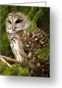 Barred Owl Greeting Cards - Barred Owl Greeting Card by Ron  McGinnis