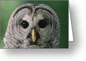 Owl Photography Greeting Cards - Barred Owl Strix Varia Portrait, North Greeting Card by Gerry Ellis