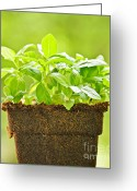 Summer Garden Greeting Cards - Basil Greeting Card by Elena Elisseeva