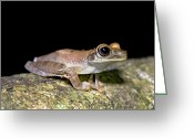 Amazon Greeting Cards - Basin Treefrog Greeting Card by Tony Camacho