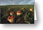 Cornfield Greeting Cards - Baskets Of Fresh Tomatoes In A Field Greeting Card by Michael Melford