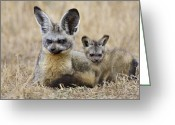 Bat Greeting Cards - Bat Eared Fox Parent And Pup Masai Mara Greeting Card by Suzi Eszterhas