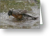 Wild-life Greeting Cards - Bath Time Greeting Card by Robert Pearson