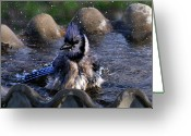Bluejay Birds Greeting Cards - Bathing Beauty II Greeting Card by Joy Tudor