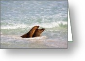 Seal Greeting Cards - Battle for the Beach Greeting Card by Mike  Dawson