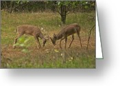 Whitetail Deer Greeting Cards - Battling Whitetails 0102 Greeting Card by Michael Peychich
