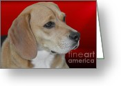 Sensitive Greeting Cards - Beagle - A hounds hound Greeting Card by Christine Till