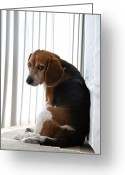 Hounds Greeting Cards - Beagle Attitude Greeting Card by Jennifer Lyon