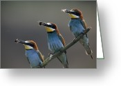 Resting Animals Greeting Cards - Beaks Replete With Prey, A Trio Of Bee Greeting Card by Joe Petersburger