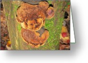 Oldgrowth Greeting Cards - Bear Fungus Greeting Card by Joshua Bales