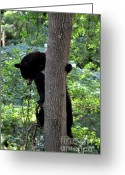 Black Bear Climbing Tree Greeting Cards - Bear Looking Down from Tree Greeting Card by Eva Thomas