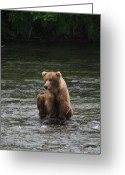 Sharp Claws Greeting Cards - Bear sitting on water Greeting Card by Tracey Hunnewell
