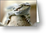 Wild Lizard Greeting Cards - Bearded Dragon Lizard Greeting Card by Mark Johnson Photography
