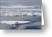 Ice-floe Greeting Cards - Bearded Seal Erignathus Barbatus On Ice Greeting Card by Konrad Wothe
