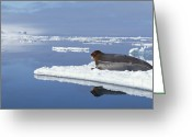 Ice-floe Greeting Cards - Bearded Seal Resting On Ice Floe Norway Greeting Card by Flip Nicklin