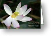 Lilies Greeting Cards - Beatutiful Wet Lotus Greeting Card by Sabrina L Ryan
