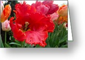 Phillie Photo Greeting Cards - Beautiful From Inside and Out - Parrot Tulips in Philadelphia Greeting Card by Carol Senske