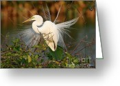 Courting Greeting Cards - Beautiful Great White Egret at Dusk Greeting Card by Sabrina L Ryan