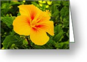Tropical Photographs Greeting Cards - Beautiful Hibiscus Greeting Card by John  Greaves