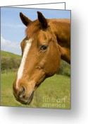 Handsome Greeting Cards - Beautiful Horse Portrait Greeting Card by Meirion Matthias