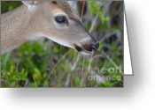 Florida Key Deer Greeting Cards - Beautiful Key Deer Greeting Card by Carol McGunagle