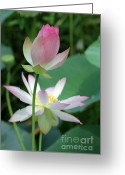 Lotus Bud Greeting Cards - Beautiful Lotus Blooming Greeting Card by Sabrina L Ryan