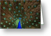 Zoo Greeting Cards - Beautiful Peacock Greeting Card by Larry Marshall