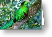 Tail Feathers Greeting Cards - Beautiful Quetzal 2 Greeting Card by Heiko Koehrer-Wagner