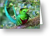 Tail Feathers Greeting Cards - Beautiful Quetzal 5 Greeting Card by Heiko Koehrer-Wagner