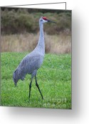 Sandhill Greeting Cards - Beautiful Sandhill Crane Greeting Card by Carol Groenen