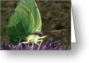 Mediterranean Butterfly Greeting Cards - Beautiful Spring Greeting Card by Eric Kempson