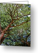 Waimea Greeting Cards - Beautiful Waimea Trees Greeting Card by Elizabeth Hoskinson