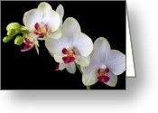 Phalaenopsis Orchid Greeting Cards - Beautiful White Orchids Greeting Card by Garry Gay