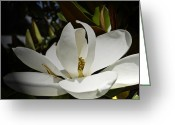 Magnolia Grandiflora Greeting Cards - Beauty So Delicate Greeting Card by Lawrence Ott
