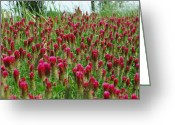 Robyn Stacey Photo Greeting Cards - Bed of Crimson Greeting Card by Robyn Stacey