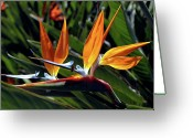 Kevin W .smith Greeting Cards - Bee and Bird of Paradise Greeting Card by Kevin Smith