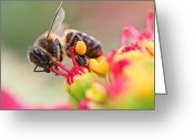 Honey Bee Greeting Cards - Bee At Work Greeting Card by Ralf Kaiser