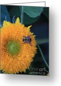 Teddybear Greeting Cards - Bee on Teddybear Sunflower 2012 Greeting Card by Marjorie Imbeau