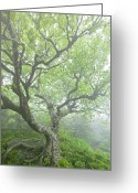 Blue Ridge Photographs Greeting Cards - Beech at Craggy Greeting Card by Rob Travis