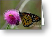 Honey Bee Greeting Cards - Bees Butterfly And Thistle Greeting Card by Robert Frederick