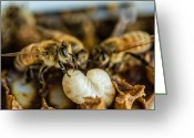 Honeycomb Greeting Cards - Bees Tending Larva Greeting Card by James Bull