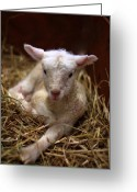 Lambing Greeting Cards - Behold the Lamb Greeting Card by Linda Mishler