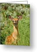 Whitetail Deer Greeting Cards - Being Watched Greeting Card by Ernie Echols