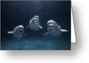 Delphinapterus Leucas Greeting Cards - Beluga Delphinapterus Leucas Whale Trio Greeting Card by Hiroya Minakuchi
