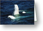 Delphinapterus Leucas Greeting Cards - Beluga Rubbing Tail On Stream Bed Nwt Greeting Card by Flip Nicklin