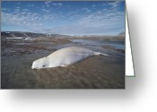 Delphinapterus Leucas Greeting Cards - Beluga  Stranded At Low Tide Somerset Greeting Card by Flip Nicklin